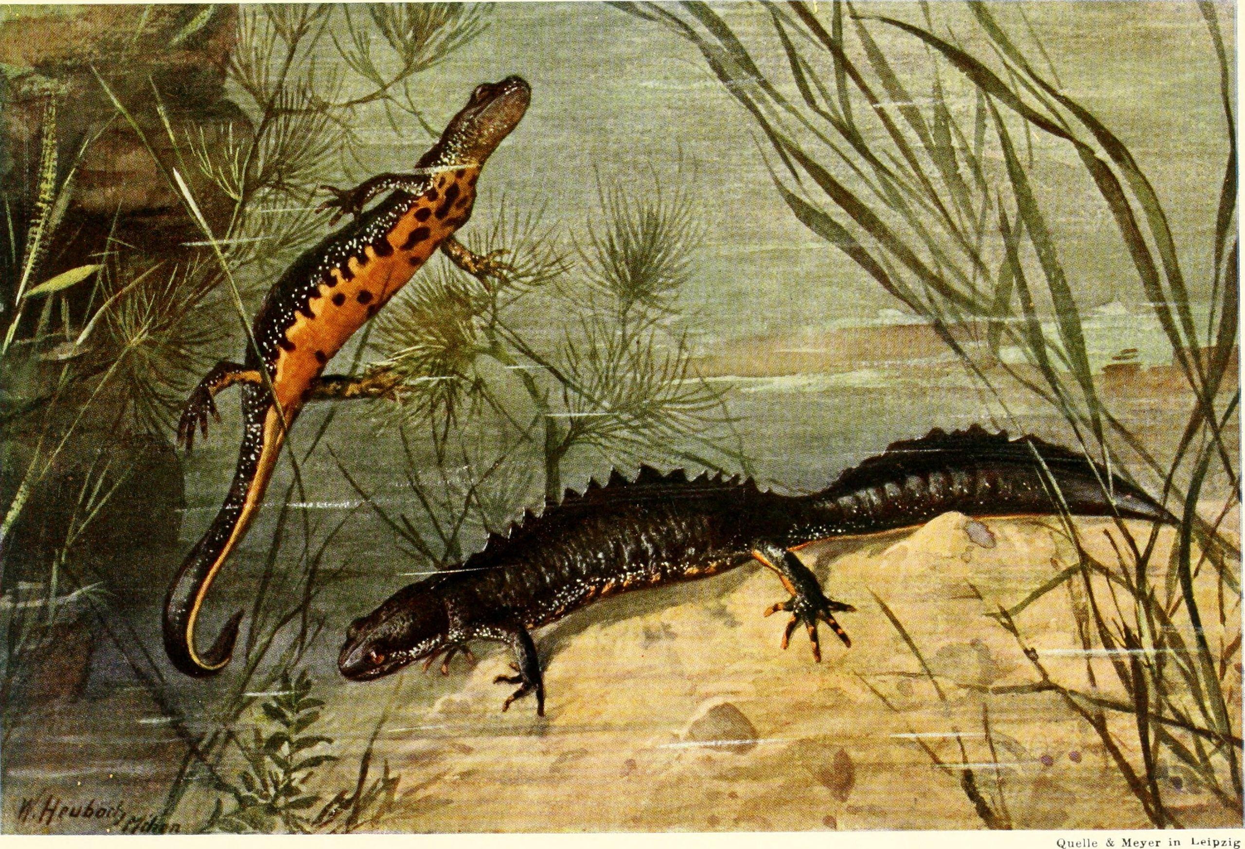 https://commons.wikimedia.org/wiki/File:Die_Reptilien_und_Amphibien_mitteleuropas_(1912)_(20942539445).jpg